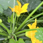 Courgette 2012 (4).JPG